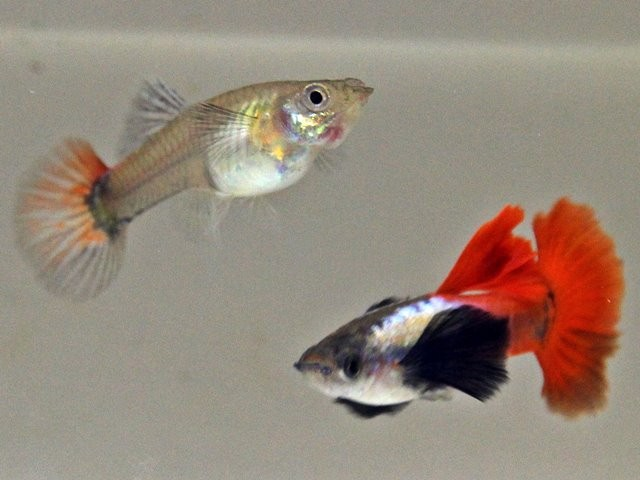 1 Paar Guppy Red Tail Super Dumbo Big Ear / Poecilia reticulata